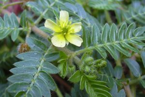 Tribulus Terrestris Review: Are the claims true?